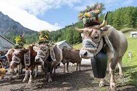 Alpgenossenschaft Vaduz – Alpabfahrt Pradamee
